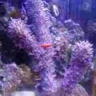 Corky Sea Finger