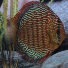 Red Scribbelt Discus
