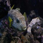 Dogface puffer - coloured