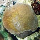 Elephant-ear Mushroom