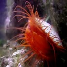 Flashing Flame scallop