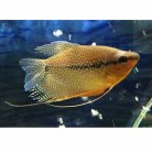 Gold Pearl Gourami