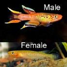 Golden Lyretail Killifish