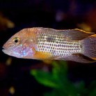South American Cichlids