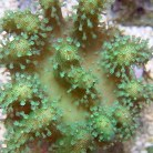 Green Toadstool Mushroom Leath