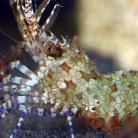 Horse Shrimp