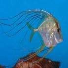Indian Treadfish