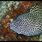 Leopard Morray Eel