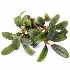 Bucephalandra Mini Needle Leaf