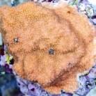 Montipora Coral Encrusting