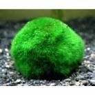 Rising japanese moss balls