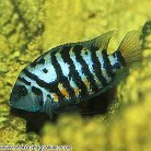 Black Convict Cichlid