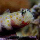 Orange Spotted prawn Goby