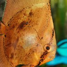 Orbiculate Batfish
