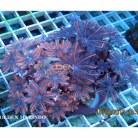 Clavularia sp