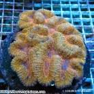 Brain Coral - Symphyllia spp