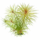 Pogostemon stellatus