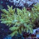 Acropora elegantula WILD 0370