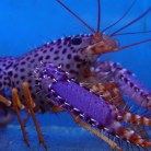 Purple/Orange Reef Lobster