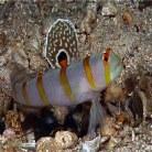 Randalls Shrimp Goby
