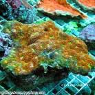 Acanthastrea Yellow