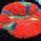 Scolymia Coral Ultra Grade