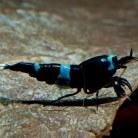 Shadow Panda Shrimp