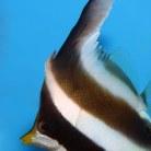 Three-Banded Bullfish
