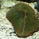 Tongue Coral