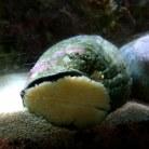 Turban Snail