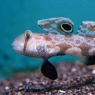 Two Spot Goby
