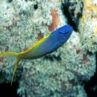 Yellow Tail Fang Blenny