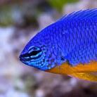 Yellow-Tailed Blue Damsel