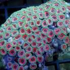 Zoanthus Polyps Ultra