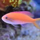 Carberryi Anthias