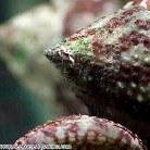 Top Shell Snail