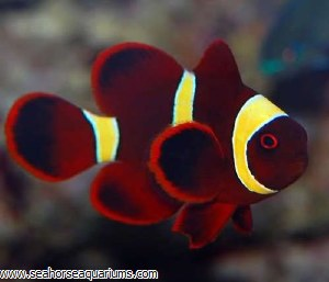 Yellowstripe Maroon Clownfish
