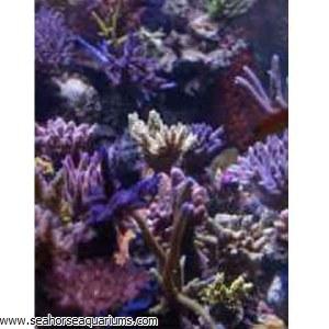 Korallen-zucht Zeolive