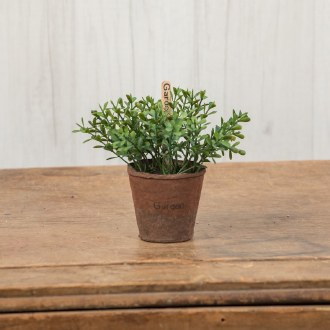 Greek Oregano in Peat Pot