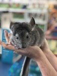 Chinchilla grey