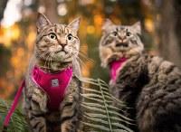 Adventure Kitty Harness, BRaspberry, Large