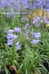Agapanthus Blue Umbrella 2L
