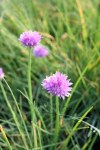 Allium schoenoprasum Chives9cm