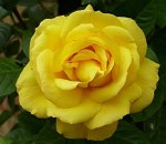 Bareroot Arthur Bell Climbing Rose