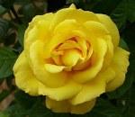 Arthur Bell Climbing Rose
