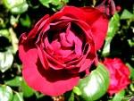 Rose Cl Dublin Bay BR