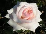Rose Cl Camelot
