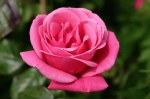 Rose Cl Pink Perpetue