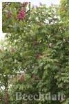 Aesculus x carnea Briotii 10L