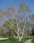 Betula util Jacquemontii 10x10
